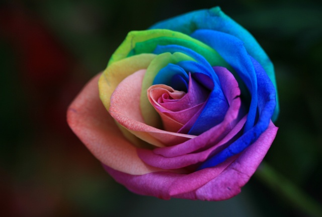 How to grow a rainbow rose naturally pickchur for How to color roses rainbow
