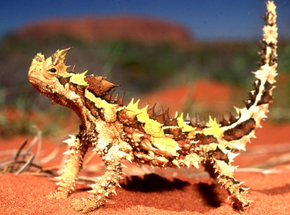 Thorny Devil