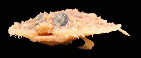 pancake batfish