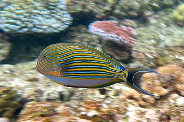 Acanthurus_lineatus_Flynn_Reef