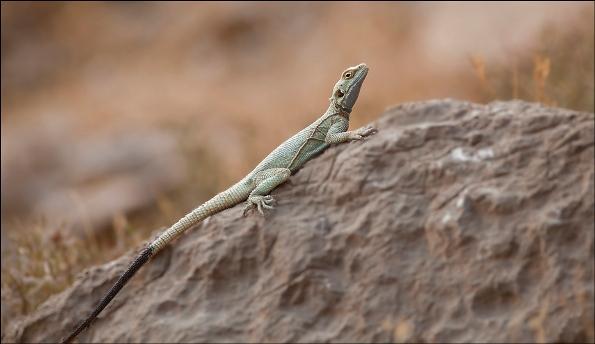 the lizard focus