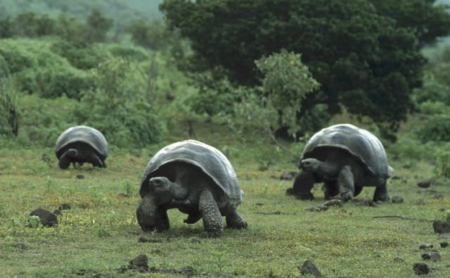 Galapagos-Islands-Tortoise