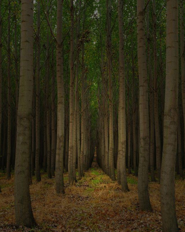 boardman_tree
