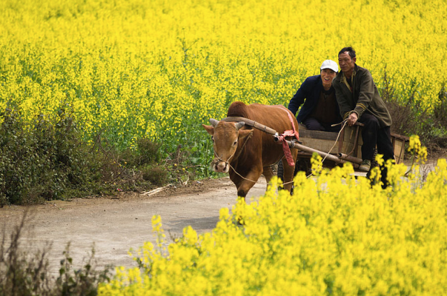 canola_fields_china2