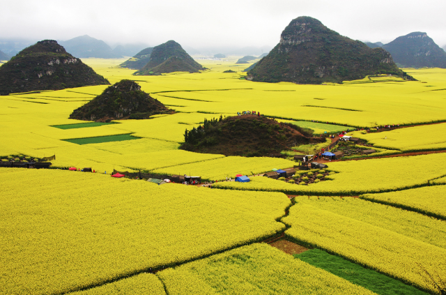 canola_fields_china3