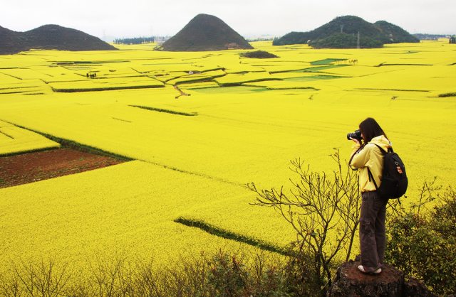 canola_fields_china4