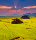 canola_fields_china5