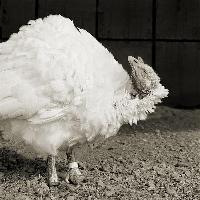 Ash, Domestic White Turkey, Age 8