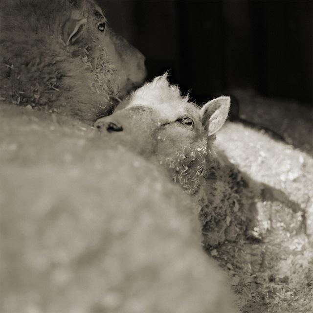 Finn Sheep, Both Age 12