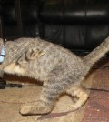 mercury_cat_1