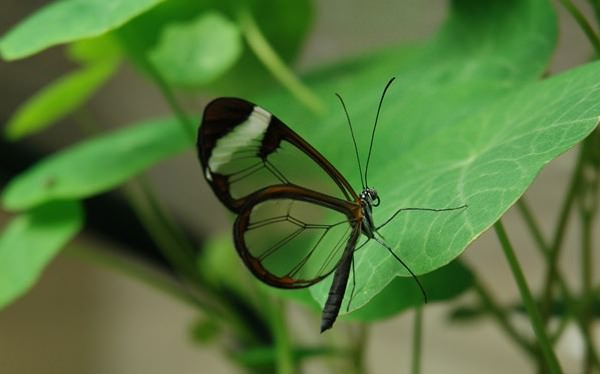 transparent_butterfly