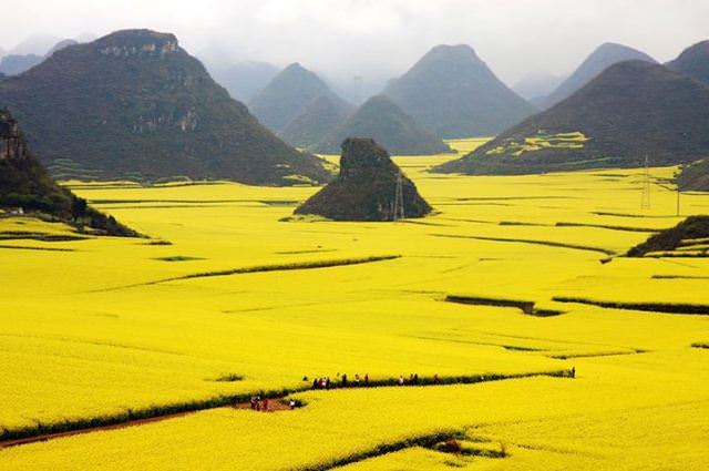 canola_fields_china