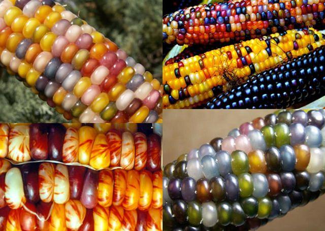 colorful seed corns