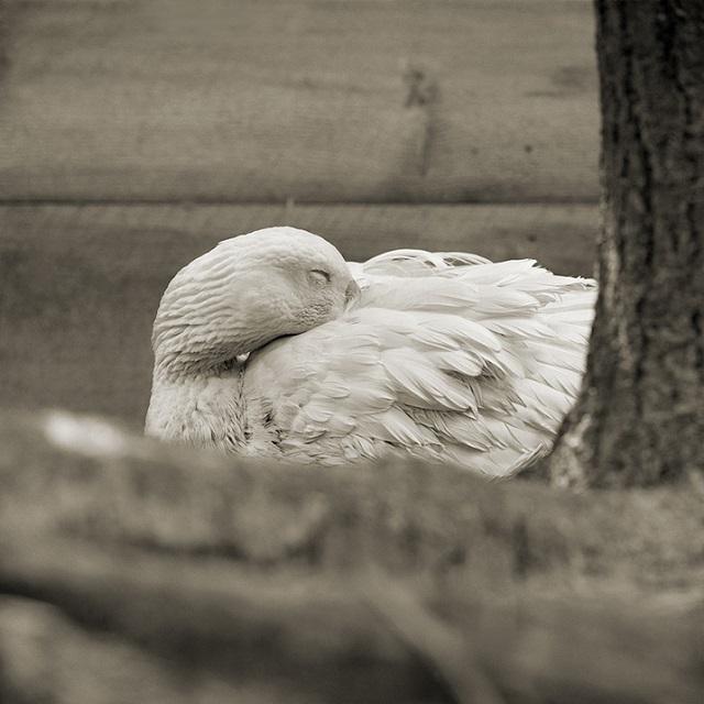 Embden Goose, Age 28, II