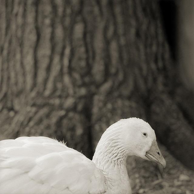 Embden Goose, Age 28, I