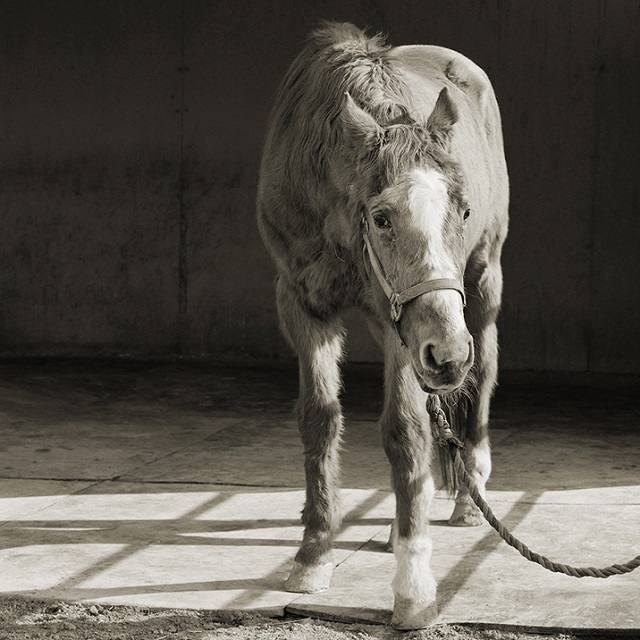 Handsome One, Thoroughbred Horse, Age 33